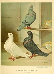 pigeons anatomy variation smithsonianinstitutionlibraries pictorialworks bhl:page=40366604 dc:identifier=httpbiodiversitylibraryorgpage40366604
