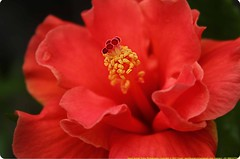 Stay alive (samitsinha) Tags: flowers india flower macro nature beauty canon photography eos flora natural kolkata bengal samit 550d flickraward flowersarebeautiful floraandfaunaoftheworld excellentsflowers mimamorflowers flickrflorescloseupmacros panoramafotogrfico canoneos550d samitkumarsinha samitkumarsinhaphotography