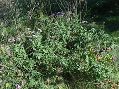 Oregano Whole Plant (corey.raimond) Tags: wild plant flower wisconsin flora escape oregano nonnative lamiaceae origanumvulgare
