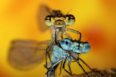 """""""Love is in the air"""" (Muzby1801) Tags: 2 two detail macro up female canon insect lens spring eyes close wasp wildlife extreme watch bugs bee bbc crop damselfly sensor damselflies mpe 65mm 60d macrolife"""