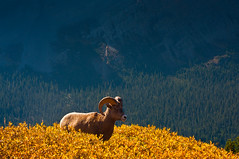 Rocky Mountain Bighorn Sheep (Crest Pictures) Tags: canada canadianrockies