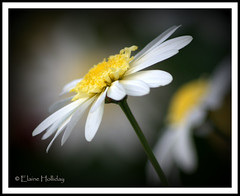 daisy 1- me and my shadow (loobyloo55) Tags: white flower yellow canon flora daisy floraandfauna canoneos400d amazingdetails