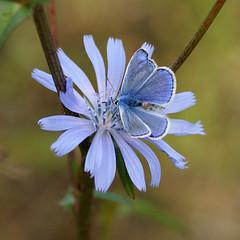 Hauhechel-Bläuling (Polyommatus icarus) auf einer Gemeinen Wegwarte (Cichorium intybus) (olga_rashida) Tags: blue ngc bleu commonblue hauhechelbläuling gemeinerbläuling azurédelabugrane natureselegantshots bestcapturesaoi coth5 blinkagain rememberthatmomentlevel1 rememberthatmomentlevel2 rememberthatmomentlevel3 argusbleuouazurécommun polyommatusicarusblau