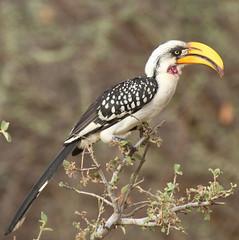 Eastern Yellow-billed Hornbill (Jacqui Herrington:) Tags: africa bird kenya samburu hornbill yellowbilled eatern tockusflavirostris