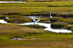 Herons in the Refuge (doveoggi) Tags: massachusetts plumisland parkerriverwildliferefuge 8749