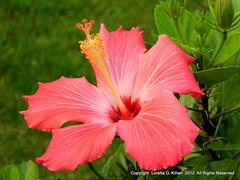 Stockertown, PA (Peachhead (4,000,000 views!)) Tags: flower fleur blossom pennsylvania flor pa hibiscus tropical bloom blume fiore lehighvalley nepa northamptoncounty northeastpennsylvania stockertownpa