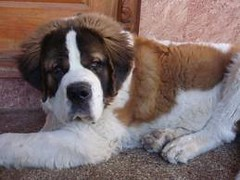 Loki (CuteKittenHorselover) Tags: dog cute puppy funny lol saintbernard cujo hugedog 269 largedog cujodog