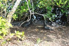 Alligator @ Everglades National Park (MortAuPat) Tags: park wild usa nature nationalpark florida alligator parks national american everglades floride etatsunis usa2012