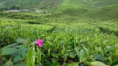 Tea (mohdshahzuddin) Tags: tea teaplantation cameronhighlands
