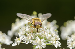 Common Banded Hoverfly. (5300foto) Tags: zweefvlieg hoverfly macro laowa venus nikon d7000 nature insect insects vlieg fly