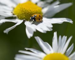 Ladybug (Helen Lundberg Photo) Tags: summer flower insect do outdoor daisy ladybug to nyckelpiga coccinellidae