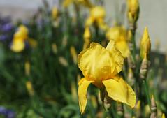 yellow irises (kinaaction) Tags: iris irises flowers yellow yellowflowers yellowirises nature sonyilce6000 flora plant