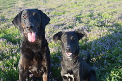 Indigo and Lu (blackmuttdogs) Tags: indigo lu lab mix border collie mutt black dogs