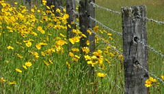 Roadside colour (Lynne's Images) Tags: fence barbed wire wildflowers yellow australia