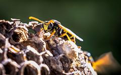 warum so grantig? (Florian Grundstein) Tags: wespen insekten nest wespennest makro details macro yellow black olympus omd em1 zuiko pro 40150 mft bokeh closeup tier wasp
