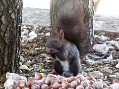 Happiness is... (vittorio vida) Tags: squirrel nuts nature hazelnuts animals food fontana nutties tail wood forest