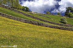 [Explored] Buttercup meadow, Askrigg, Yorkshire Dales National Park, England. UK (Wend's photography) Tags: photography askrigg yorkshire yorkshiredales dales national park uk unitedkingdom england summer summertime rural fields meadow buttercups flowers scenery