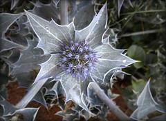 Cardo (emubla) Tags: flores flowers plantas naturalea plants cardo emubla movil macrofotografa macro