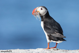 Puffin and a side of fish!