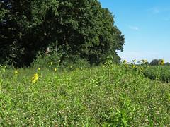 ckuchem-3267 (christine_kuchem) Tags: ackerrand bienenfreund bienenweide blumen blhstreifen feld felder klee landwirtschaft phacelia schmetterlingsbltler sonnenblume sonnenblumenfeld vogelschutz wiesenblume