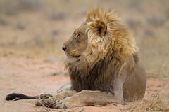 Fond memories of Kgalagadi (leendert3) Tags: africanlion ngc sunrays5