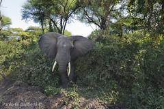 Elefante africano, African Elephant, Loxodonta africana (paolo.gislimberti) Tags: tanzania ngorongoro africanmammals africanparks parchiafricani mammiferiafricani animaliambientati animalsintheirenvironments savana savannah bush animalbehavior comportamentoanimale