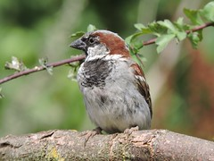 Sparrow (deannewildsmith) Tags: earthnaturelife sparrow