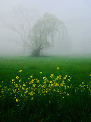 Spring wildflowers (Bill Jonscher) Tags: fog mist morning tree wildflowers country nature shenandoah valley spring wet damp chilly quiet peaceful calm solitude contemplation meditation travel vacation getaway relaxation rejuvenation