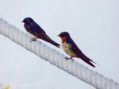 Two little dickie birds (Belinda Fewings (3 million views. Thank You)) Tags: wildlife wild nature urbannature tiny rope two blue swift bird illinois chicago belindafewings panasoniclumixdmc bokeh city street seaside colour colourful artistic pbwa creativeartphotograhy creative arty beautiful beautify beauty lovely outdoors outside out best depthoffield lessismore