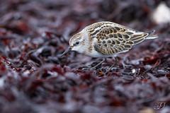 Bcasseau minute (Tifaeris) Tags: bcasseauminute calidrisminuta charadriiformes littlestint scolopacids bird oiseau