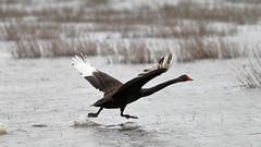 Black Swan (blachswan) Tags: winterswamp mullahwallahwetlands wetland wetlands swan blackswan birdinflight wings splashing water