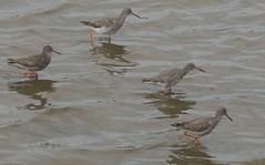 Redshanks (Turtlerangler) Tags: redshanks bird cumbria uk leightonmoss