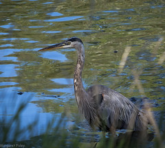 Great Blue Heron (montrealmaggie) Tags: bird heron lasalle water feathers reeds