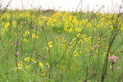Serra da Canastra, MG (se.shira) Tags: serradacanastra parquenacionalserradacanastra flores florzinha amarela duetos