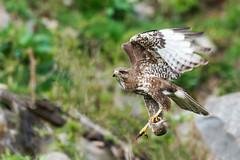 La chasse au campagnol est ouverte! (quercyanimalier) Tags: buse variable campagnol terrestre common buzzard