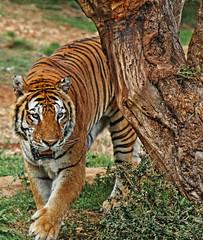 tiger 1 (zuroccu) Tags: animaliferoci felini carnivori