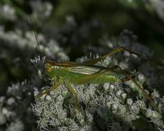 BushCricket_SAF9360 (sara97) Tags: route66statepark copyright2016saraannefinke insect missouri missouristatepark nature outdoors photobysaraannefinke saintlouis tettigoniidae