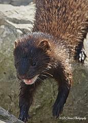 Mink (Denise Trocio (D Trocio Photography)) Tags: mink animal wildlife topazglow