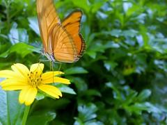 Hortus Botanicus-09 (Quetzalcoatl002) Tags: hortusbotanicus vlindertuin butterflies amsterdam vlinders butterflygarden closeup