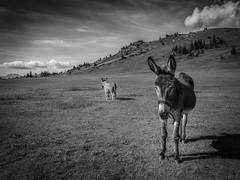Black, White and Donkeys (J.Kieran) Tags: donkey naturalight blackandwhite monochrome nature landscape beautifull natur clouds emotion mountain rock alpes animal savage hautesavoie