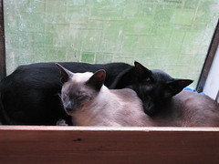 cats henry winter gardens 025 (meccanohig) Tags: cats siamese oriental