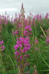 Alaskan Fireweed (shorby68) Tags: pink flowers nature alaska wildflowers kodiak fireweed larsenbay