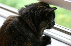 Window Shopping (~ Liberty Images) Tags: cat lucy feline tortoiseshell tortie lu catsandwindows
