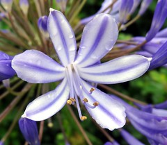 blue allium flower