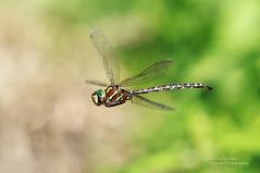 Shadow Darner in Flight (Emery O) Tags: macro wisconsin canon dragonfly darner odonata cranelake shadowdarner 70200mmlseries 580exii