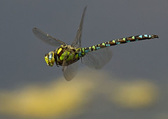 Southern-hawker_5558 (Peter Warne-Epping Forest) Tags: