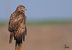 Red-tailed Hawk basking in the sunlight - 8642b+sg (teagden) Tags: morning light bird fall photography hawk wildlife raptor redtailed rt avian birdsofprey birdofprey 2012 redtailedhawk earlymorninglight birdphotography wildlifephotography specanimal rthawk jenniferhall highqualityanimals