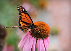 ~Butterfly Blessings...~ (nushuz) Tags: macro beautiful butterfly monarch coneflower irishblessing lookslikestainedglass bokehliciousbokeh maythewingsofthebutterflykissthesun ontheconeflower atdadsgarden andfindyourshouldertolighton tobringyouluckhappinessandriches todaytomorrowandbeyond
