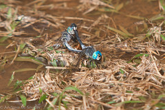Mating dragonflies (Andrew Snyder Photography) Tags: southamerica nature rainforest dragonfly conservation science guyana research jungle mating biology biodiversity iwokrama operationwallacea opwall andrewmsnyder