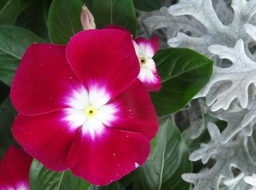 flower leaves southcarolina magenta catharanthusroseus apocynaceae asteraceae vinca dustymiller madagascarperiwinkle cherokeecounty jacobaeamaritima